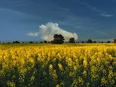 Field With Yellow Flowers, Golden Field. Field Full Of Flowers poster