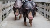 Berkshire Pig Or Kurobuta Pig - swine Farming Business Walking Around Farm In Relax Time. Pig farmin poster