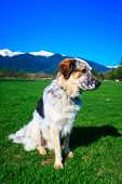 White, Brown And Black Fuzzy Dog Sitting In Green Grass And High Snow Mountain Peaks At Background,  poster