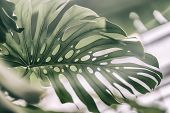 Tropical Natural Monstera Leaves With Texture. Split-leaf Philodendron, Tropical Foliage. Abstract N poster