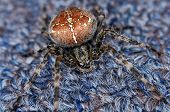 Cross Spider Orb Spider Crawling On Carpet