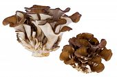 Hen Of The Woods Mushroom (grifola Frondosa)