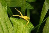 stock photo of goldenrod  - Goldenrod crab spider  - JPG