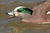American Wigeon Drake Giving Intense Call