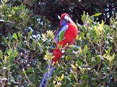 Rosella Parrot