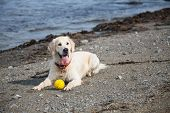 Image Of A Dog Breed Golden Retriever Lying On The Beach With The Yellow Ball On Sea Background poster