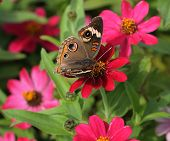Buckeye (Precis coenia) On Pink Flowers