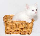 White Kitten In The Basket