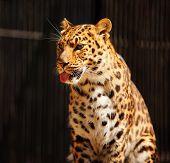 stock photo of novosibirsk  - Leopard closeup in Novosibirsk Zoo - JPG