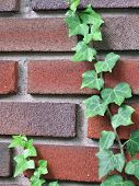 picture of english ivy  - creeping english ivy growing on brick house - JPG
