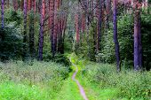 Summer Pine-tree Forest Scenery With Road (footpath) Of Green Grass & Foliage. Pathway In Scene Spri poster