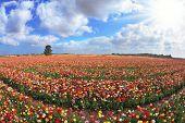 Campo ilimitado kibbutz sembrado con flores. Los magníficos jardín ranúnculos en Israel