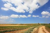 Well-trodden dirt road to the kibbutz fields. Serene April morning, puffy clouds in blue sky
