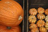 big pumpkin little pumpkins