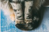 Close Up View Of Cat Paws On Blue Wooden Table As Background. Beautiful Tabby Cat Sitting On A Table poster
