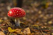 One Red Fly Mushroom Or Toadstool In Autumn Forest & Sunlight On Leaves Background. Amanita Muscaria poster