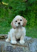 American Cocker Spaniel Puppy On Stump