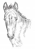 Cute Pony Foal Portrait. Young Pony Head In Black Color Isolated On White Background. Vector Hand Dr poster