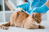 Partial View Of Veterinarian Doing Implantation Of Identification Microchip To Red Tabby Cat poster