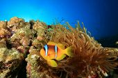 Red Sea Anemonefish and Bubble Anemone