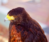 Aquila nipalensis steppe eagle profile in golden sunset light