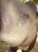 Eye Of A Flat Tapir Tapirus Terrestris