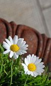 Two White Daisy Flowers