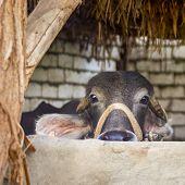 Closeup Face Of Egyptian Grey Buffalo In Stockyard At Traditional Egyptian Village poster