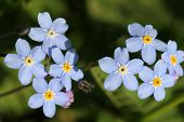 Blue Forget-me-not Flowers (Myosotis)