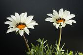 White gazania flower (Gazania rigens) against dark background