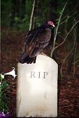 Turkey Vulture And Gravestone