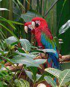 Green Winged Macaws (Ara chloropterus)