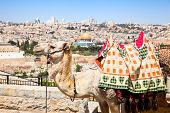 stock photo of aqsa  - Camel on Mount of Olives and panoramic view on old Jerusalem - JPG