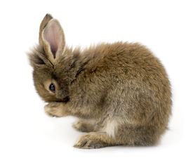foto of bunny rabbit  - Small brown rabbit isolated on white washing itself - JPG