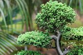 Beautiful Juniper Bonsai  In A Botanical Garden