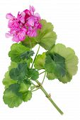 Ideal  Pink Flower Geranium