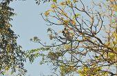 Wild grey langurs