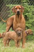 stock photo of bitch  - Rhodesian ridgeback bitch with puppies standing on the grass - JPG