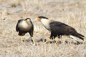 Crested Caracaras Feeding On Carrion- Texas