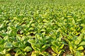 Tobacco plant farm