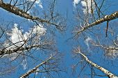 Top Of Bare Birch Trees