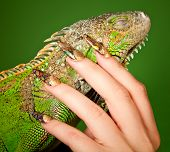 stock photo of lizard skin  - Female hand with beautiful manicure in natural style tenderly touches iguana - JPG