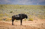 Blue Wildebeest Antelope In African Savanna