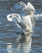 stock photo of trumpeter swan  - Pair of Landing Trumpeter Swans on a coly icy river - JPG