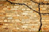 Old Withered Grapevine On Stone Wall