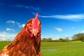 Rhode Island Red Chicken In A Green Field With A Bright Blue Sky