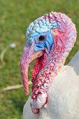 Turquía fea cabeza