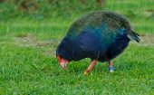 Takahe a once believed to be extinct flightless bird native to only new zealand