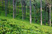 Tea Garden In India