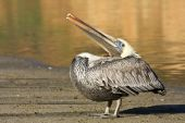 Injured Brown Pelican Resting At Point Reyes